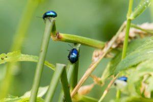 Blauer Erlenblattkäfer (Agelastica alni)